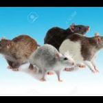 Interesting Facts: Top 10 interesting facts about RATS