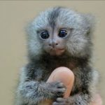 Plants and Animals: World's Smallest Monkeys! Thumb Monkey – Illegal Chinese Pet
