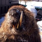 Plants and Animals: Angry Beavers! – NEWS: Beaver Attack in Serbia
