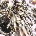 Plants and Animals: Spider Silk Extraction! Spiny Orb Weaver